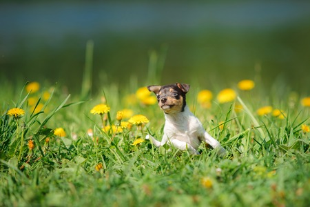 hunter playful: little puppy breed Toy fox terrier in the summer the park on the green grass