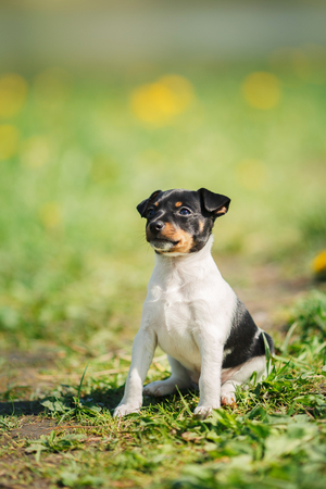 little puppy breed Toy fox terrier in the summer the park on the green grass