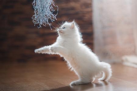 ragdoll: Ragdoll blue point little kitten on a colored background studio