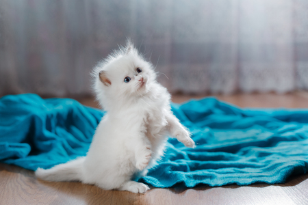 pampered: Ragdoll blue point little kitten on a colored background studio