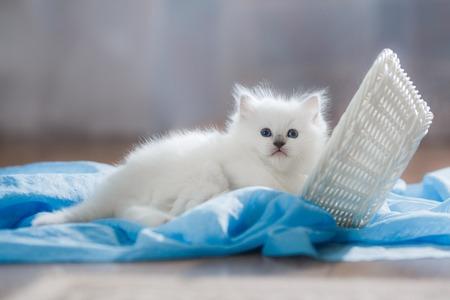 Ragdoll blauwe punt klein katje op een gekleurde achtergrond studio