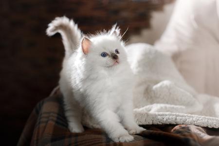 Ragdoll blue point little kitten on a colored background studio