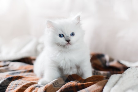 pet cat: Ragdoll blue point little kitten on a colored background studio