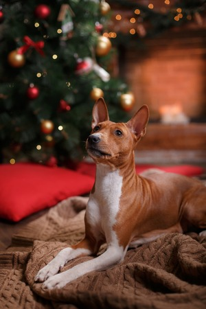 Dog breed Basenji, Christmas and New Year, studio background Banco de Imagens