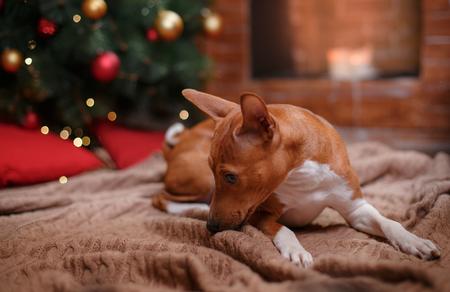 Dog breed Basenji, Christmas and New Year, studio background Stock Photo