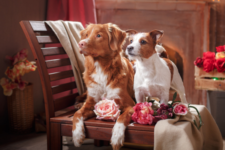Dogs Jack Russell Terrier and Dog Nova Scotia Duck Tolling Retriever  portrait dog on a studio color background, dog lying on a chair in the studio Stock Photo