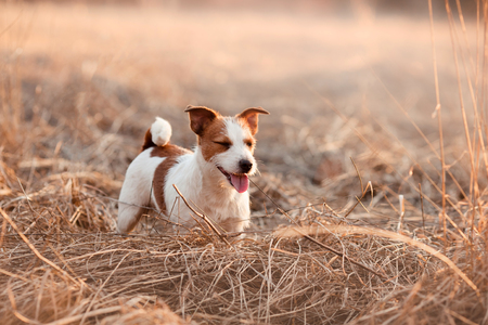 Dog breed Jack Russell Terrier walking in the park, spring Stock Photo