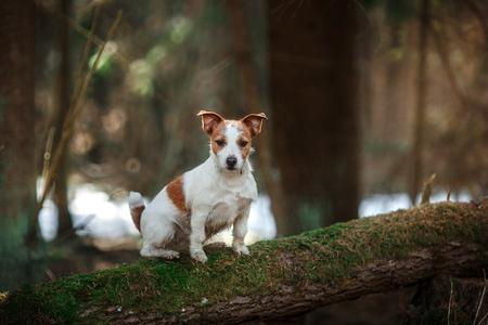 Hondenras Jack Russell Terrier loopt in het bos, de lente Stockfoto