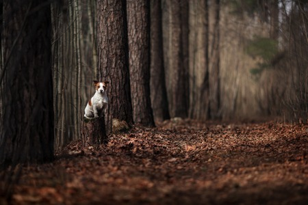 Dog breed Jack Russell Terrier walking in the forest, spring
