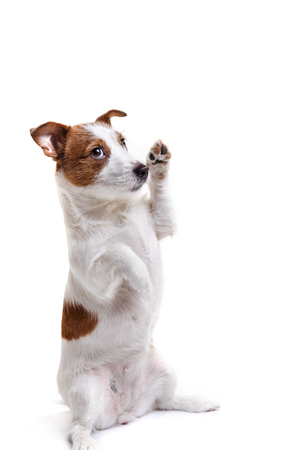 dog Jack Russell Terrier isolated on white background