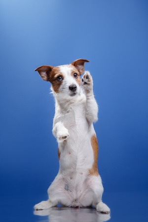 dog breed Jack Russell Terrier on a blue background