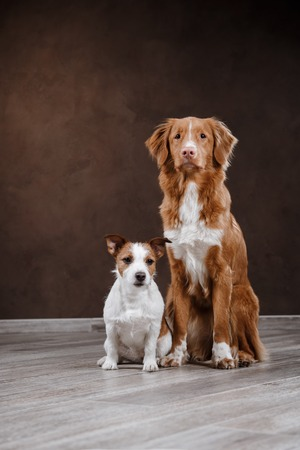 Dogs Jack Russell Terrier and Dog Nova Scotia Duck Tolling Retriever  portrait dog on a studio color background