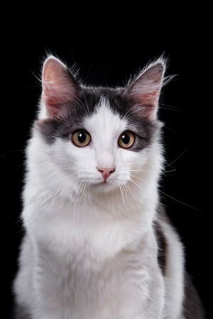 Young three-colored cat portrait on a black background Stock Photo