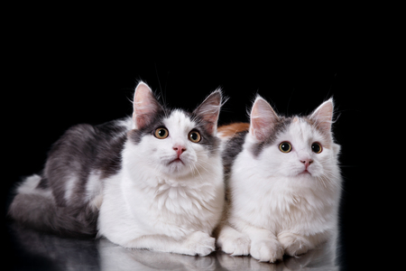 stray: Two Young three-colored cats, portrait on a black background