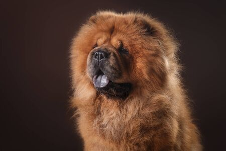red dog breed chow chow on a retro vintage studio background Stock Photo