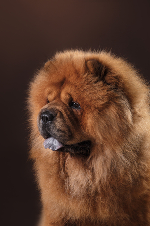chow: red dog breed chow chow on a retro vintage studio background Stock Photo