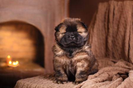 chow: dog breed chow chow puppy on a retro vintage studio background