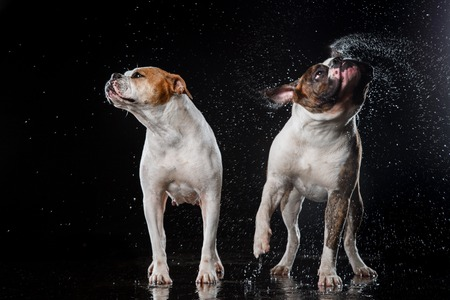 dog breed American Bulldog, Motion in the water, aqueous shooting Stock Photo