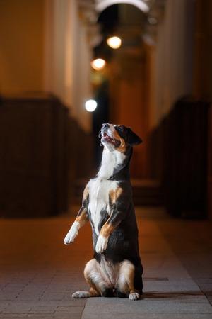 sennenhund: Entlebucher Mountain Dog, Sennenhund walks on a night city summer Stock Photo