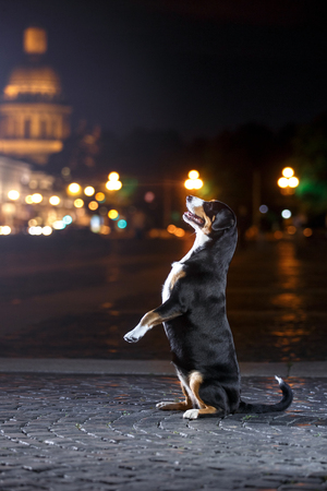 Entlebucher Mountain Dog, Sennenhund walks on a night city summer Stock Photo