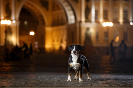 Entlebucher Mountain Dog, Sennenhund walks on a night city summer Stock Photo
