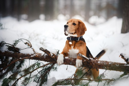 Dog breed Beagle walking in winter forest