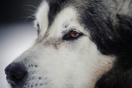 malamute: Dog breed Alaskan Malamute walking in winter forest