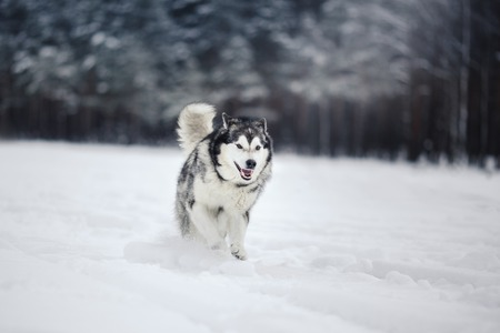 Dog breed Alaskan Malamute walking in winter forest
