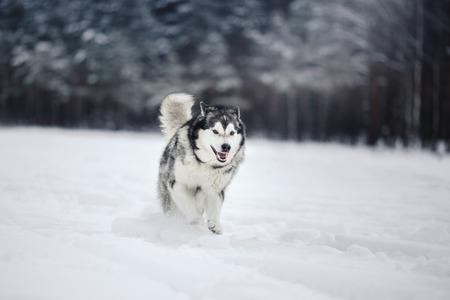 Dog breed Alaskan Malamute walking in winter forest