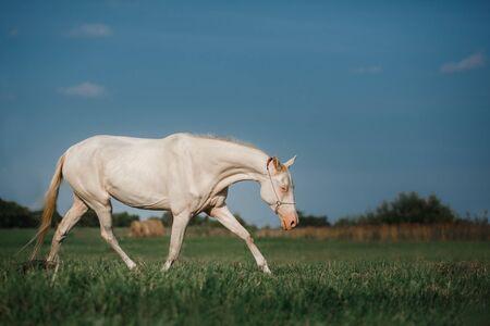White Horse Akhal-Teke runs trot on the field