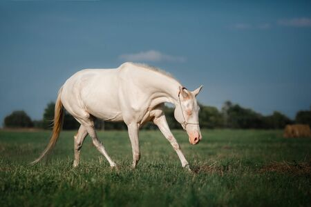trot: White Horse Akhal-Teke runs trot on the field