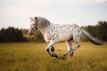 mancha blanca en el caballo corre al galope