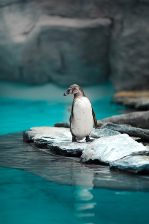 Humboldt penguins standing in natural environment, on the rocks near the water Stock Photo