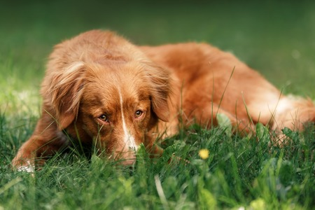 guileless: Dog Nova Scotia Duck Tolling Retriever lying in the garden on the green grass