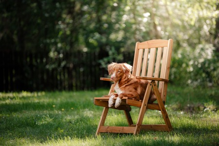 guileless: Dog Nova Scotia Duck Tolling Retriever lying in the garden on a wooden table