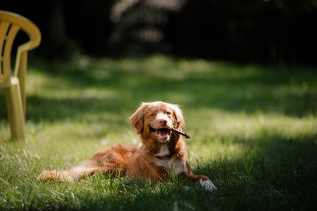 guileless: Dog Nova Scotia Duck Tolling Retriever Dog Nova Scotia Duck Tolling Retriever lying in the garden on the green grass