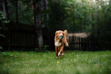 harmless: Dog Nova Scotia Duck Tolling Retriever running around the garden, on green grass