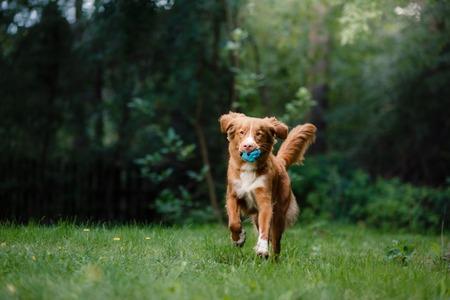 guileless: Dog Nova Scotia Duck Tolling Retriever running around the garden, on green grass