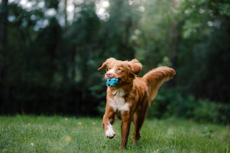 guileless: Dog Nova Scotia Duck Tolling Retriever running around the garden, on green grass