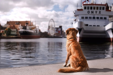 Dog Nova Scotia Duck Tolling Retriever walking in the old town