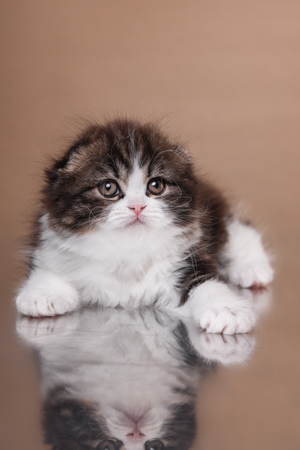 racy: Kitten scottish fold breed on a color on a color background background Stock Photo