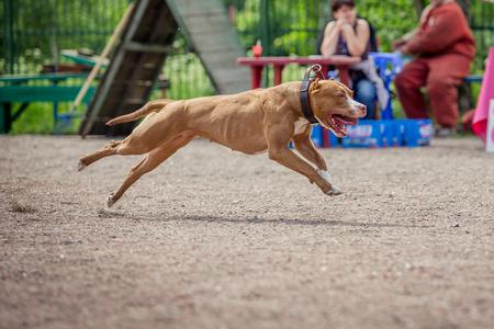 kampfhund: Hund Wettkampf, Training Polizeihund, Hundesport, Wettkampfsport