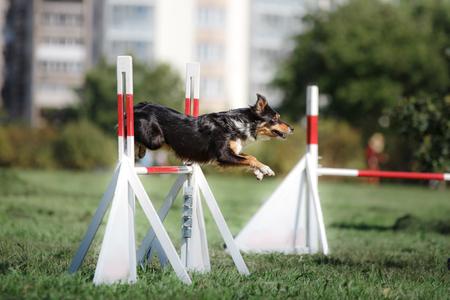 hond hordenloop over een sprong op een agility evenement, sportwedstrijden van honden in de zomer in het park
