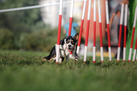 slalom: dog agility slalom, sports competitions of dogs in the summer in the park