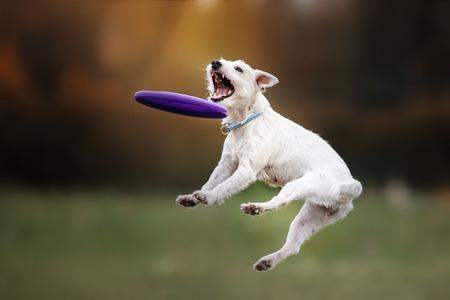Hond die frisbee in sprong haalt, huisdier speelt buitenshuis in een park. vliegende schijf Stockfoto