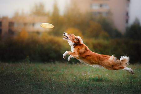Hund fangen Frisbee im Sprung, Tier im Freien in einem Park spielen. Flugscheibe Standard-Bild - 64504101