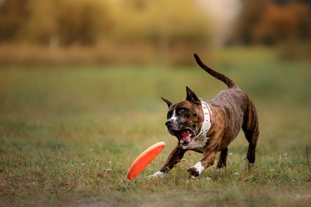 Dog jumping and catching flying disk, pet playing outdoors in a park.