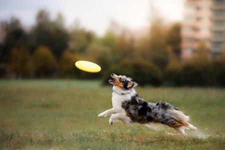 Hond springen en vangen vliegende schijf, dieren spelen buitenshuis in een park. Stockfoto