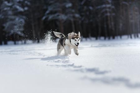 Hondenras Siberische Husky die op een sneeuwgebied in de winterbos lopen Stockfoto
