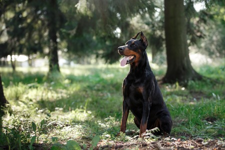 Doberman dog, beautiful pet walking in a summer park